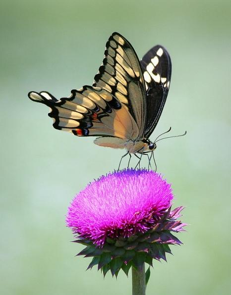 swallowtail+butterfly+29.jpg
