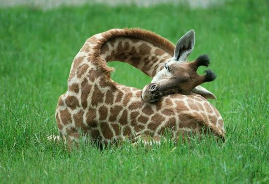 sleeping-giraffe-2