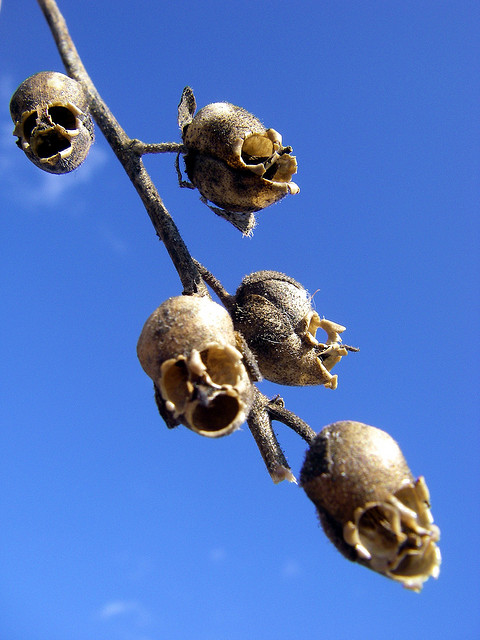 snapdragon seed pods
