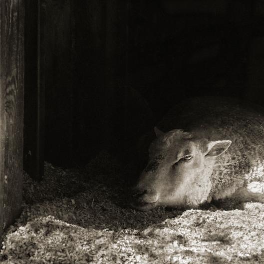 Finn Sheep, Age 12