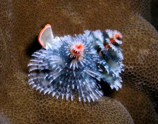 Frosty Xmas tree worm