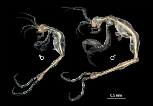 illustration-of-female-and-male-liropus-minusculus