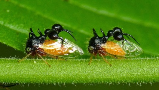 ant mimicking treehopper Cyphonia clavata 2
