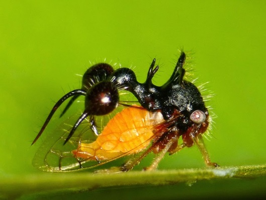 ant mimicking treehopper Cyphonia clavata 3