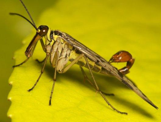 scorpion-fly-2