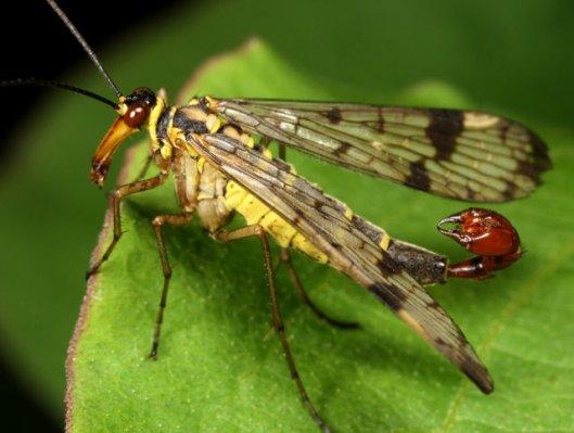 scorpion-fly-6