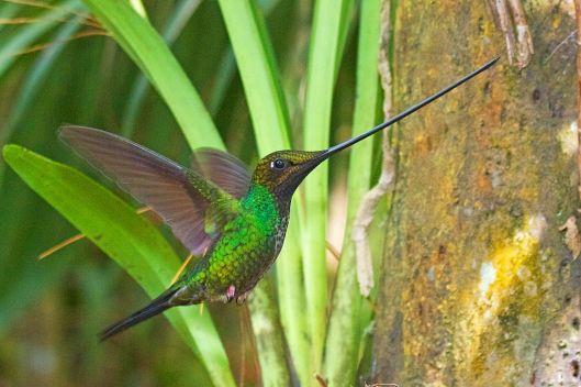 Sword-billed_Hummingbird