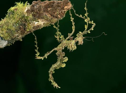 131-Trychopeplus-laciniatus