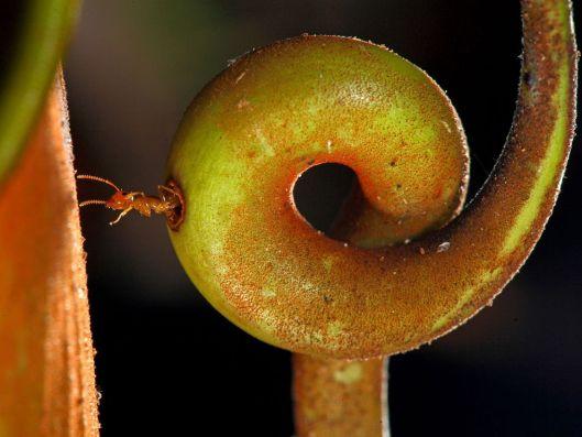 ant-carnivorous-plant-borneo_88856_990x742