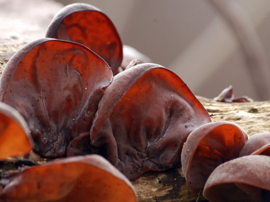 Judas Ear Jelly Ear Jews Ear 3