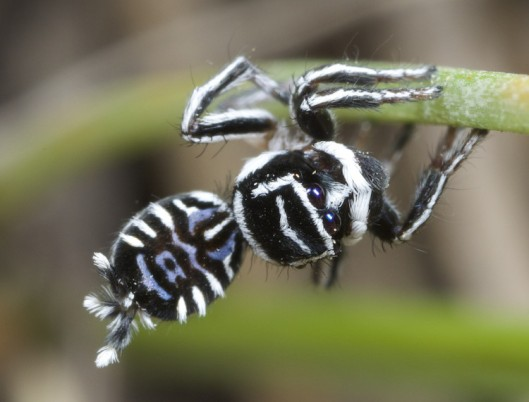Maratus_sceletus_male_photo_2