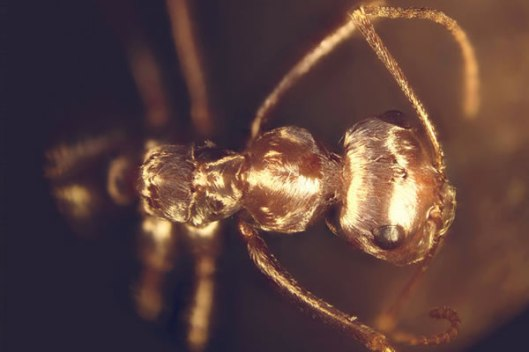 sahara-silver-ant