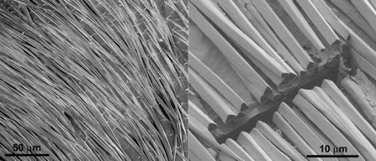 saharan-ants-silver-hair-micrograph