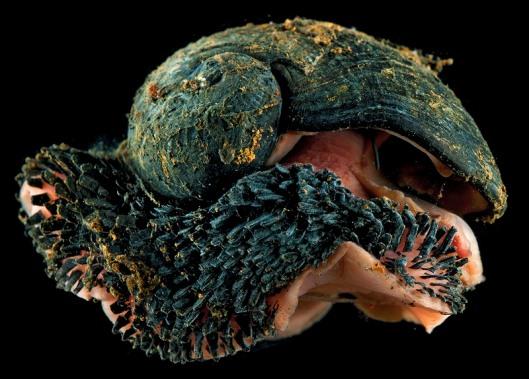 scaly-foot-gastropod-8