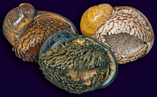 scaly-foot-gastropod-9