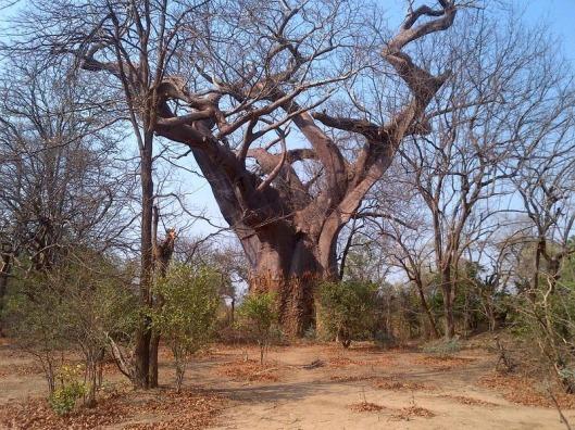 leper-tree-malawi-2%255B6%255D