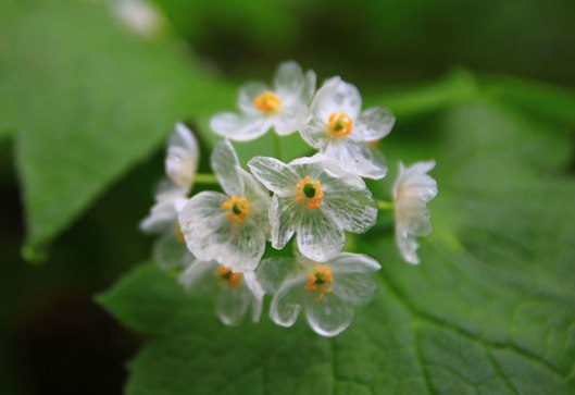 transparent-skeleton-flowers-in-rain-diphylleia-grayi-23