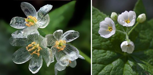 transparent-skeleton-flowers-in-rain-diphylleia-grayi-24
