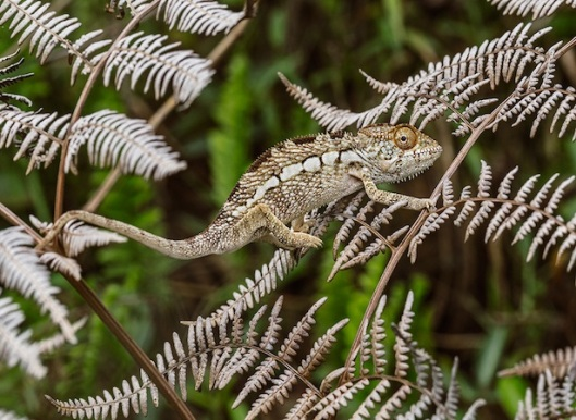 Panther Chameleon (Furcifer panthera), juvenile well camouflaged in its native habitat, secondary vegetation