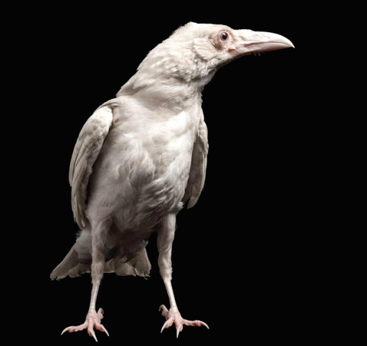 albino+raven