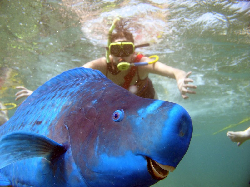 Le poisson perroquet bleu curiosit s de titam for Vente aquarium poisson