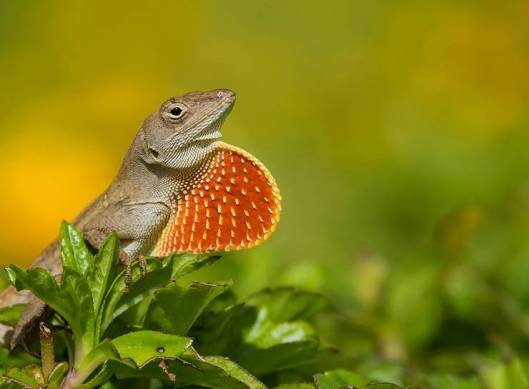 brown-anole.jpg.0x545_q70_crop-scale