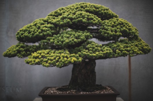 A Japanese White Pine (in training since 1625) at the National Bonsai and Penjing Museum in Washington, DC.