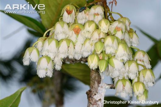 Bois-dentelle-flowers