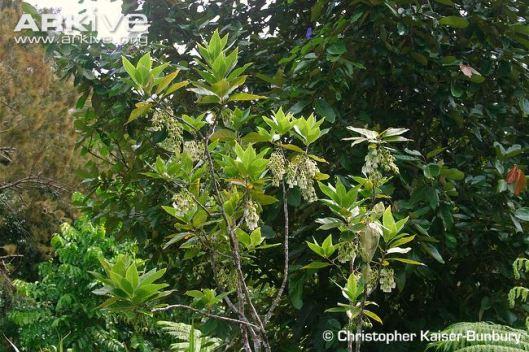 Bois-dentelle-in-flower