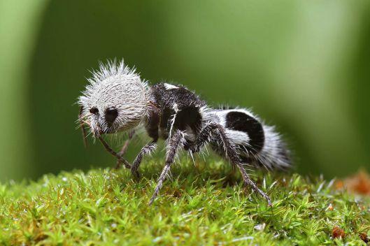 panda-ant-euspinolia-militaris-1__880