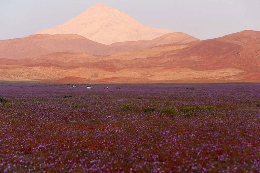 atacama-flowers-bloom-worlds-driest-desert-3