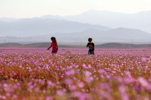 atacama-flowers-bloom-worlds-driest-desert-5