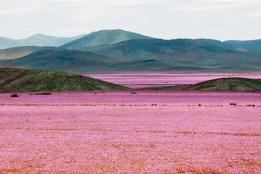 atacama-flowers-bloom-worlds-driest-desert-6