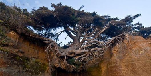 kalaloch-tree-of-life-2[2]