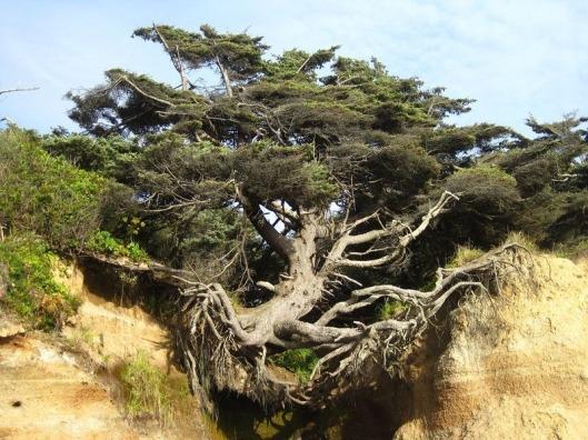 kalaloch-tree-of-life-3[2]