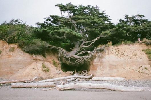 kalaloch-tree-of-life-4[6]