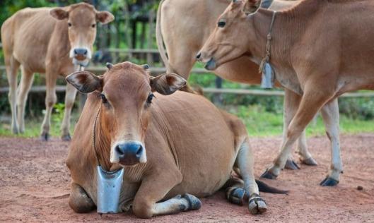 Des cloches pour vaches