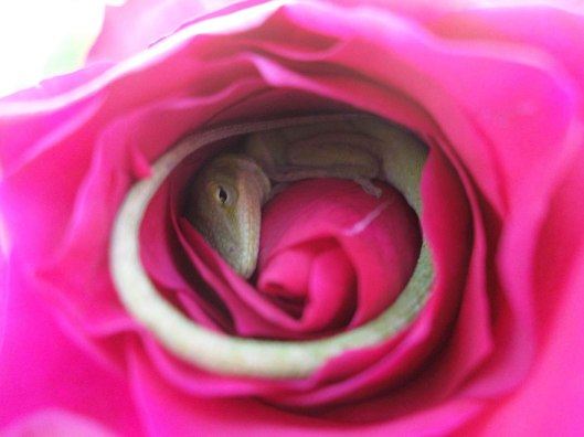sleeping-lizard-rose-flower-3