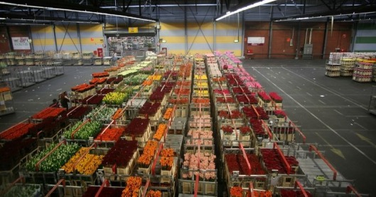 aalsmeer-flower-auction-9[2]