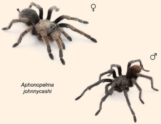 image_3615-Aphonopelma-johnnycashi