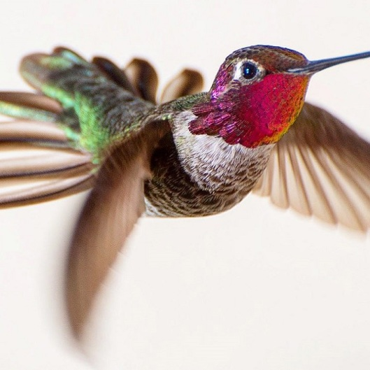tracyjohnsonhummingbirds1