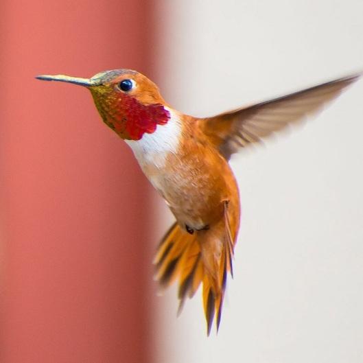 tracyjohnsonhummingbirds2