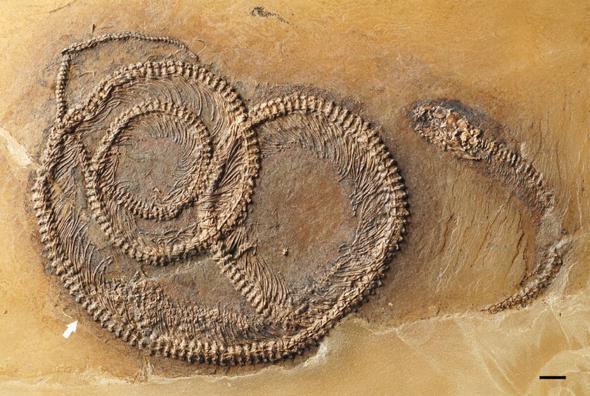 01-snake-fossil-turducken-adapt-590-1