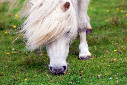miniature-ponies-foula-island-2
