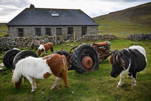 miniature-ponies-foula-island-9