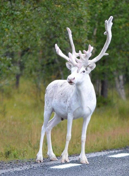 white-albino-reindeer-sweden